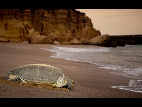 Turtle at Ras Al Jinz - Turtle Beach - Oman Travel Guide