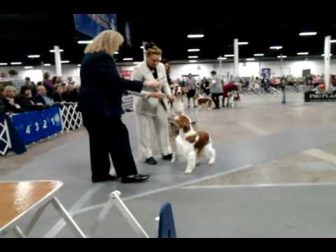 Welsh Springer Judging 2016 Phila. Kennel Club National Dog Show