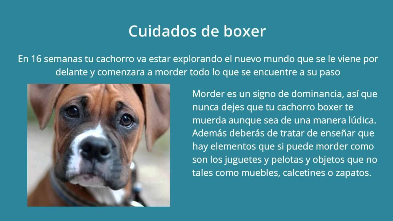 Cuidados de boxer como cuidarlo youtube for Cuidados de la vinca