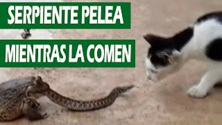 Gato vs Serpiente Vs Sapo    VÍDEO VIRAL 2016