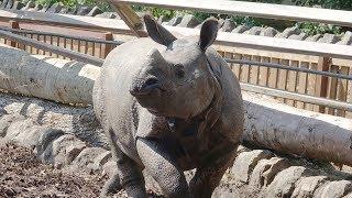 A new rhino arrives at Edinburgh Zoo!