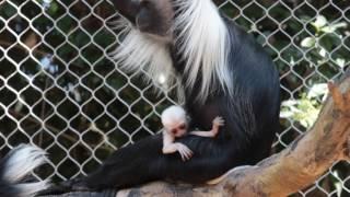 Baby Angolan Colobus Monkey Born at Zoo Atlanta