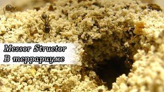Переселение муравьёв в террариум. Борьба между жнецами и пожарниками за территорию