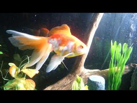 Dwarf Gourami In Goldfish Aquarium