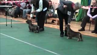 Wire Dachshunds At Dcw Champ Show 2013 Dog Challenge