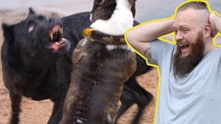 Cane Corso ATTACK! Canine Behaviourist Reacts To Dog Attack