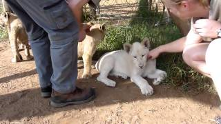 Volunteer with lions - wildlife project South Africa