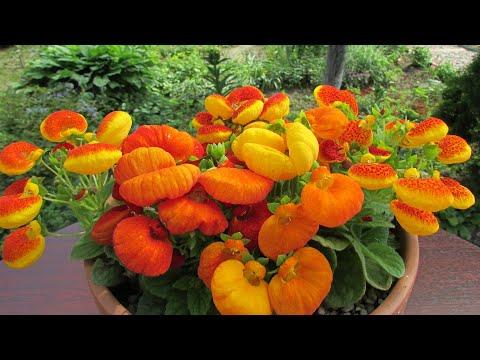 «Маленькие башмачки» украшают Ваш сад. Выращивание кальцеолярии: от посева семян до цветения