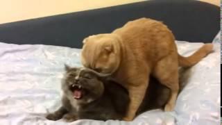 Спаривание кошек