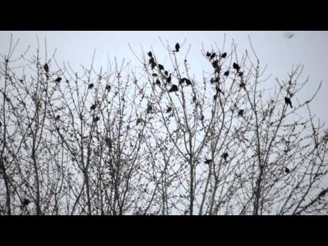 SONGBIRDS.AVI