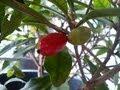 Miracle fruit (Synsepalum Dulcificum) - Tester (3GP)