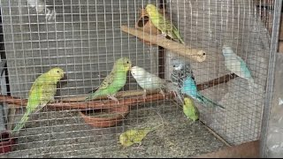 Australian Budgies Breeding Tips  Colony Breeders Winter Season   November  2016Urduhindi