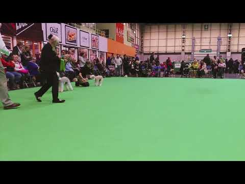 Crufts 2018 Bedlington Terrier Best Of Breed