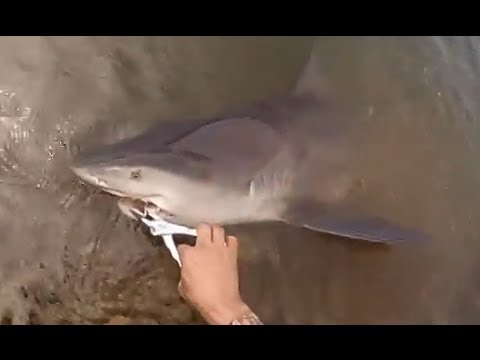 BULL SHARKS CANAL FISHING