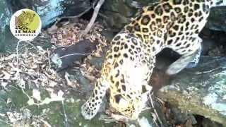 Дальневосточные леопарды Тайфун и Бэри/Amur leopards Taifun and Bery