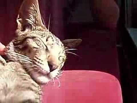 Oriental Shorthair (crazy Siamese cat)
