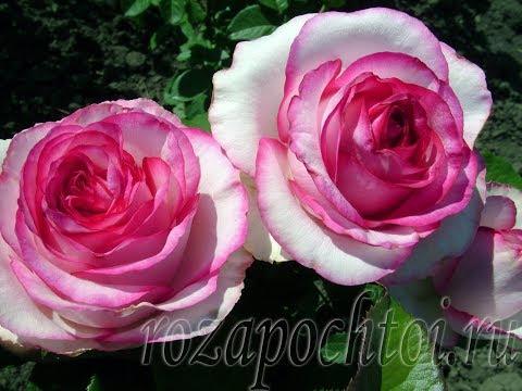 Роза Дольче Вита+ (Dolce Vita+). rozapochtoi.ru.