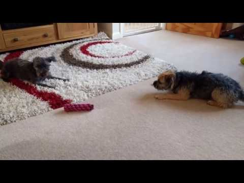 Border terrier Leeloo sparring with friend
