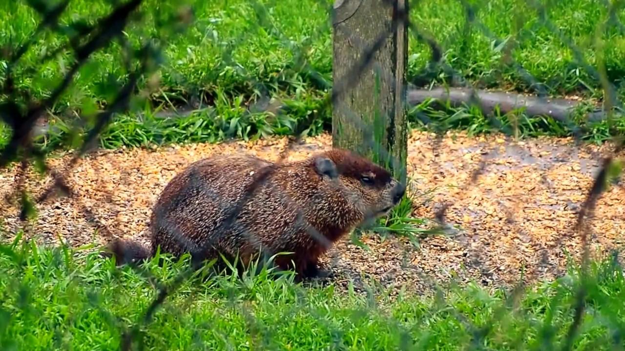 Groundhog In My Neighbours Backyard - YouTube