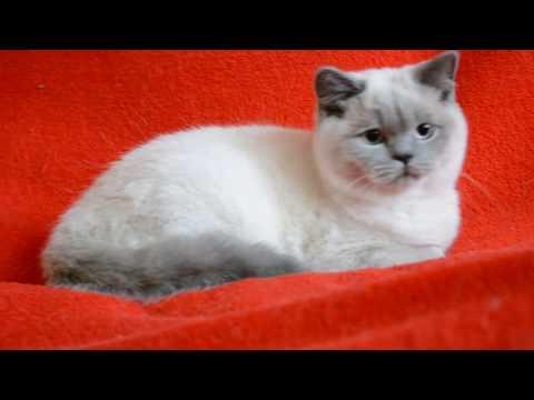 Купить шотландского котенка: котята для Вас! Шотландские котята окраса блю-поинт.