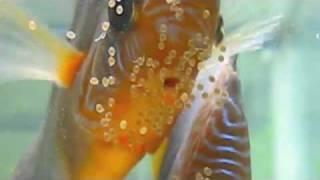 Virtual Tour Of Discus Breeder Canadian Aqua Farm Located In Vancouver Canada