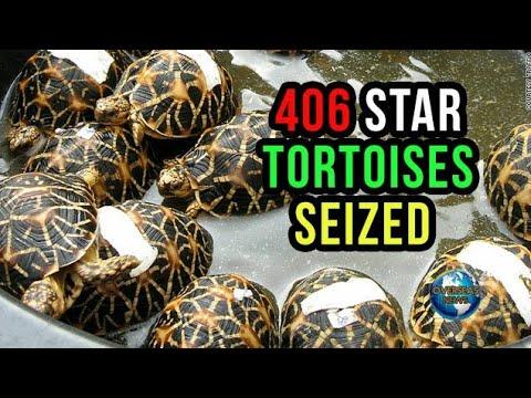 Woman Held with star tortoises, 406 Indian Star tortoises seized   Overseas News