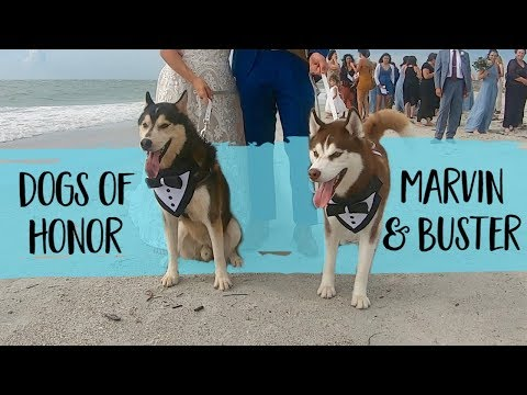 These Adorable Huskies Presented The Rings In Their Humans' Wedding Ceremony | FairyTail Pet Care