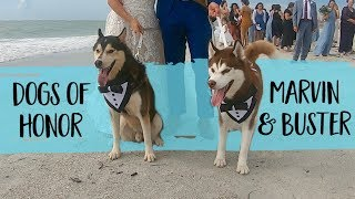 These Adorable Huskies Presented The Rings In Their Humans' Wedding Ceremony   FairyTail Pet Care