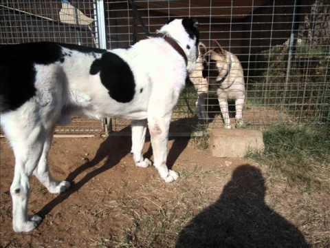Sarmat Ovcharka Vs Akita Fighting Dog Youtube