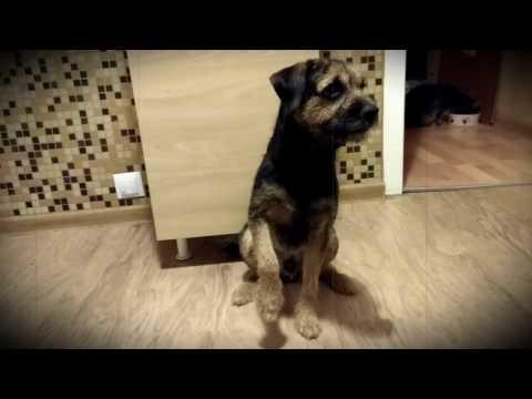 Border terrier shaming