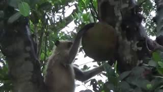 Baby Monkey Jack Fruit Thief II Human VS langur  Monkey Conflict