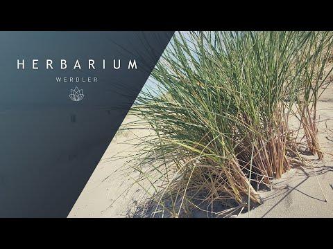 Ammophila arenaria - (European beach grass)