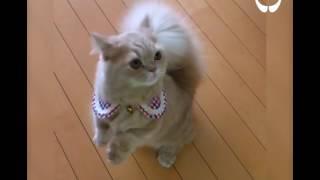 Кошка с хвостом как у белки!