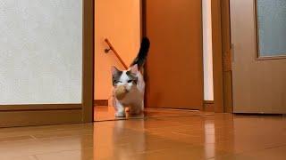 階段から咥えて戻ってくる猫がかわいい   Adorable cat coming back from the stairs with a  capybara in its mouth.