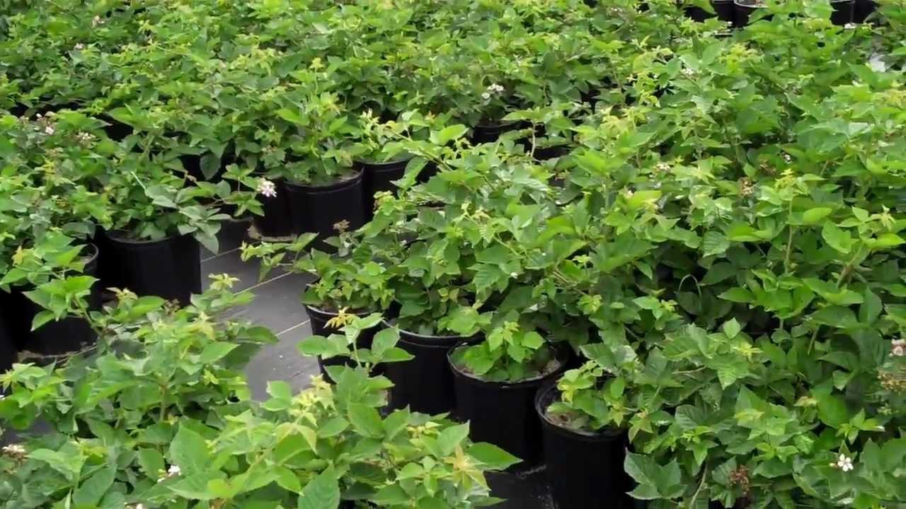 Buy Thornless Blackberry Plants Youtube