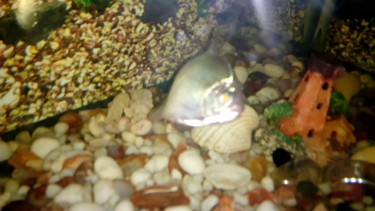 Freshwater aquarium fish are dying - Fish Dying In Water Dollar Fish Dollar Fish Dying In Aquarium Any Veterinary Science For Fish