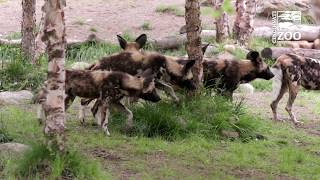 New Painted Dog Pups and Mom Exploring Their Habitat - Cincinnati Zoo