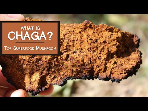 What is Chaga?  Learn Why It's a Top Superfood Mushroom