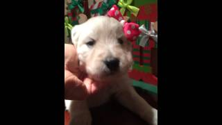 English Goldendoodle Puppies