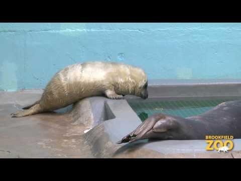 Grey Seal Pup Explores Pool