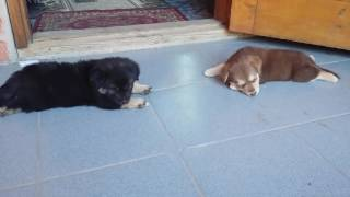 Моя охрана дома/3 собаки