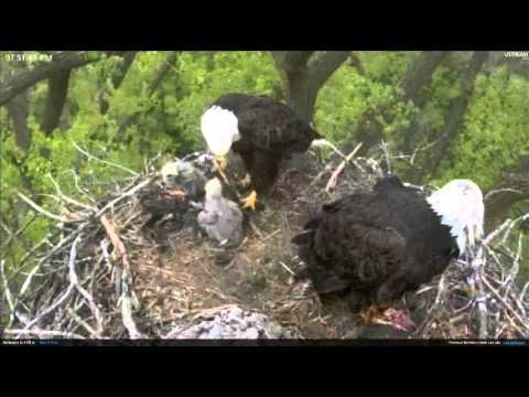 Minnesota Bald Eagles bring cat? to nest and then a fish.. 4/29/12