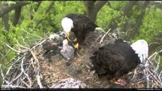 Minnesota Bald Eagles bring cat? to nest and then a fish.. 4/29/12 thumbnail