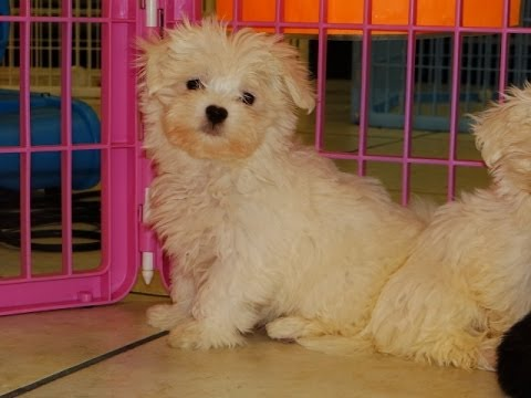 Westie puppies for sale in nc