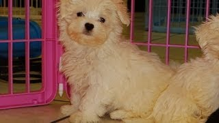 Maltese Puppies, For, Sale, In El, Paso, Texas, Tx, Temple, County, La, Porte, Socorro