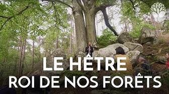Le hêtre, le roi de nos forêts