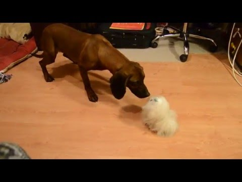 Bavarian mountain hound and the Jumping dog toy