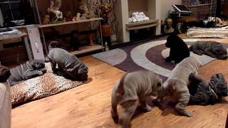 Shar Pei Puppies Playing - Honeypei-sharpei