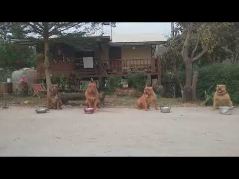 Obedient American Pit Bulls Wait for Command to Eat in Thailand
