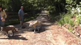 Dog Training: Distraction Training Great Dane Puppy Boundary Training & Socialization